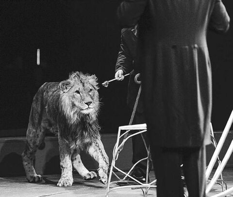 A lion stands chained near his handler at a circus at the MTS Centre last March.