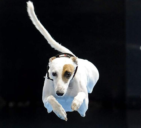 Cochiti, a six-year-old whippet, competes in a diving dog competition. A new book argues dogs are smarter than you think.