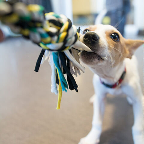 A game of tug at The Pawsh Dog. (Supplied photo)