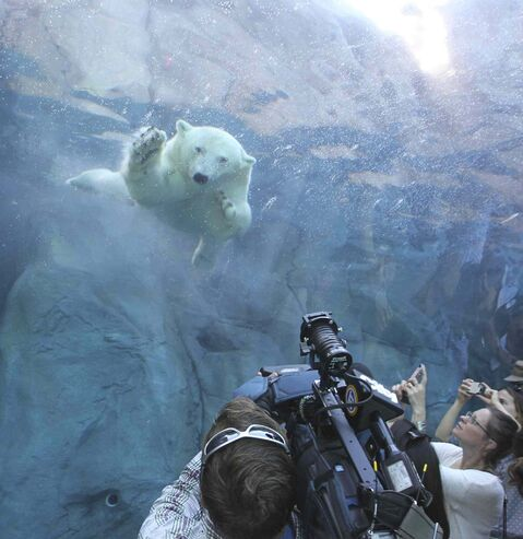 Members of the media get a closer inspection by one of the polar bears at the Assiniboine Park Zoo Thursday.