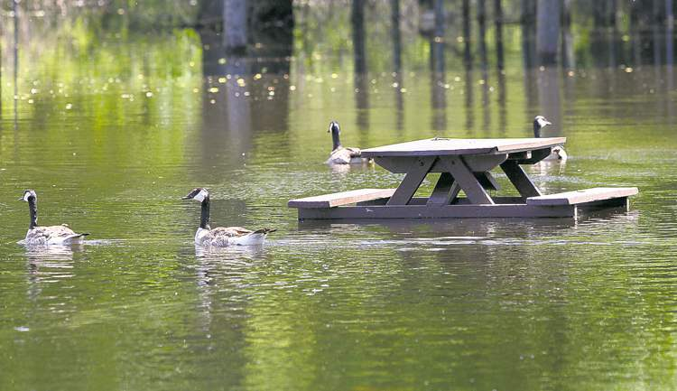Geese swim in a flooded Souris park on June 29, 2011