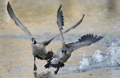 Geese fight as a male defends his nesting site at the duck pond at St. Vital Park.