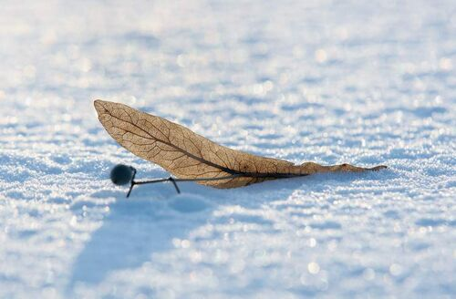 The late afternoon sun illuminates a fallen leaf on fresh snow in Winnipeg. 