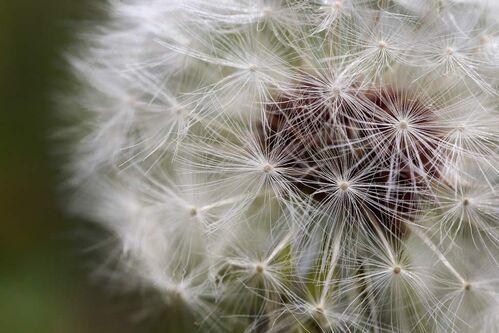 Dandelion seeds from a flower on a lawn in St. Vital. Dandelion seeds can travel over 8 km in the air.