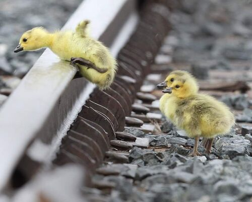 Challenges of Life - Goose goslings jump over railway tracks to catch up to their parents at the CN Intermodal yard on Keewatin Street in Winnipeg. The young goslings seem to normally hatch in the truck yard a few weeks before others in town.