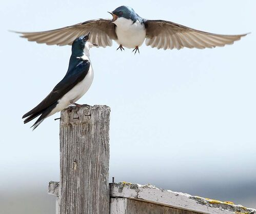 Two common house-martins fight over a bird house at Oak Hammock Marsh.