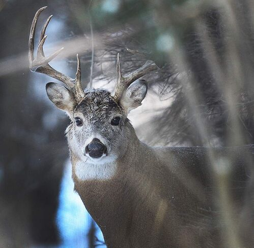 A majestic large White-tailed deer listens for sounds in the forest near La Barriere Park in the RM of Ritchot.