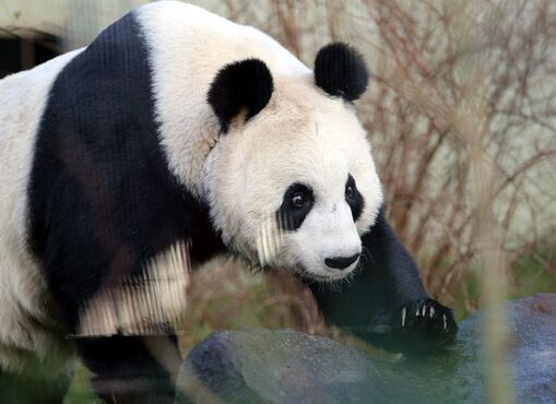 FILE- In this file photo dated Monday, Dec 16, 2013, Giant panda named Tian Tian, is seen exploring her enclosure at Edinburgh Zoo in Edinburgh, Scotland. The zoo has sounded warnings that Tian Tian may have lost her cub, and experts are monitoring her closely, as the zoo's panda expert Iain Valentine said Monday Sept. 1, 2014, that Tian Tian is