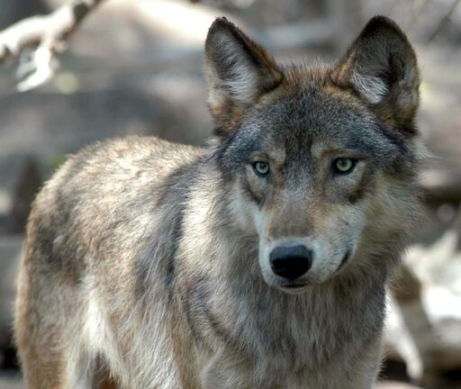 A gray wolf at the Wildlife Science Center in Forest Lake, Minn.