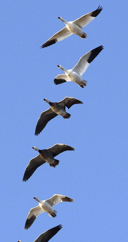 Snow geese fly high above Delta Marsh.