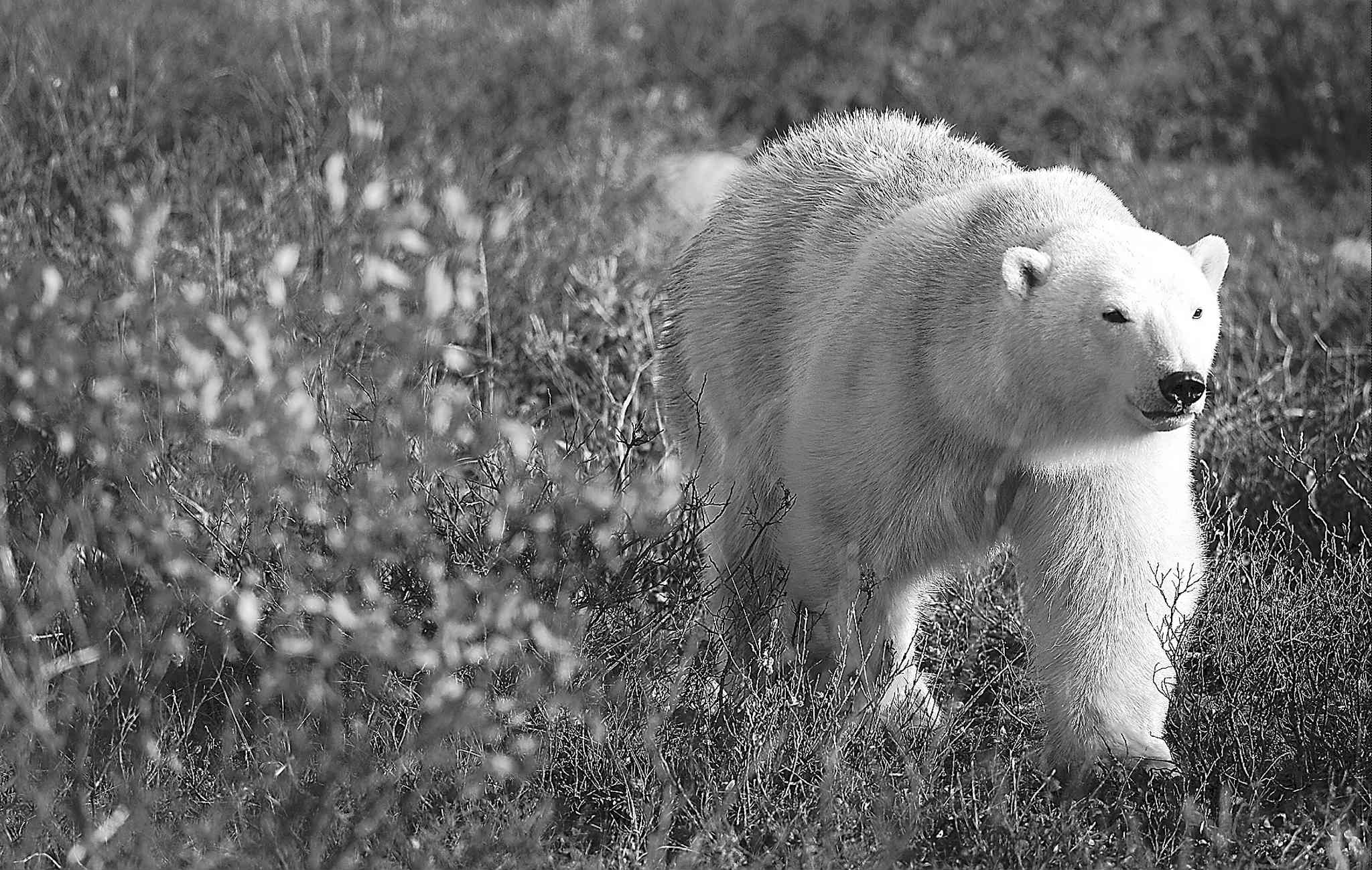 Natural Habitat Adventures has donated trips to see the polar bears to other causes in the past, but the chance to go with a 100-year-old woman doesn't come along too often.