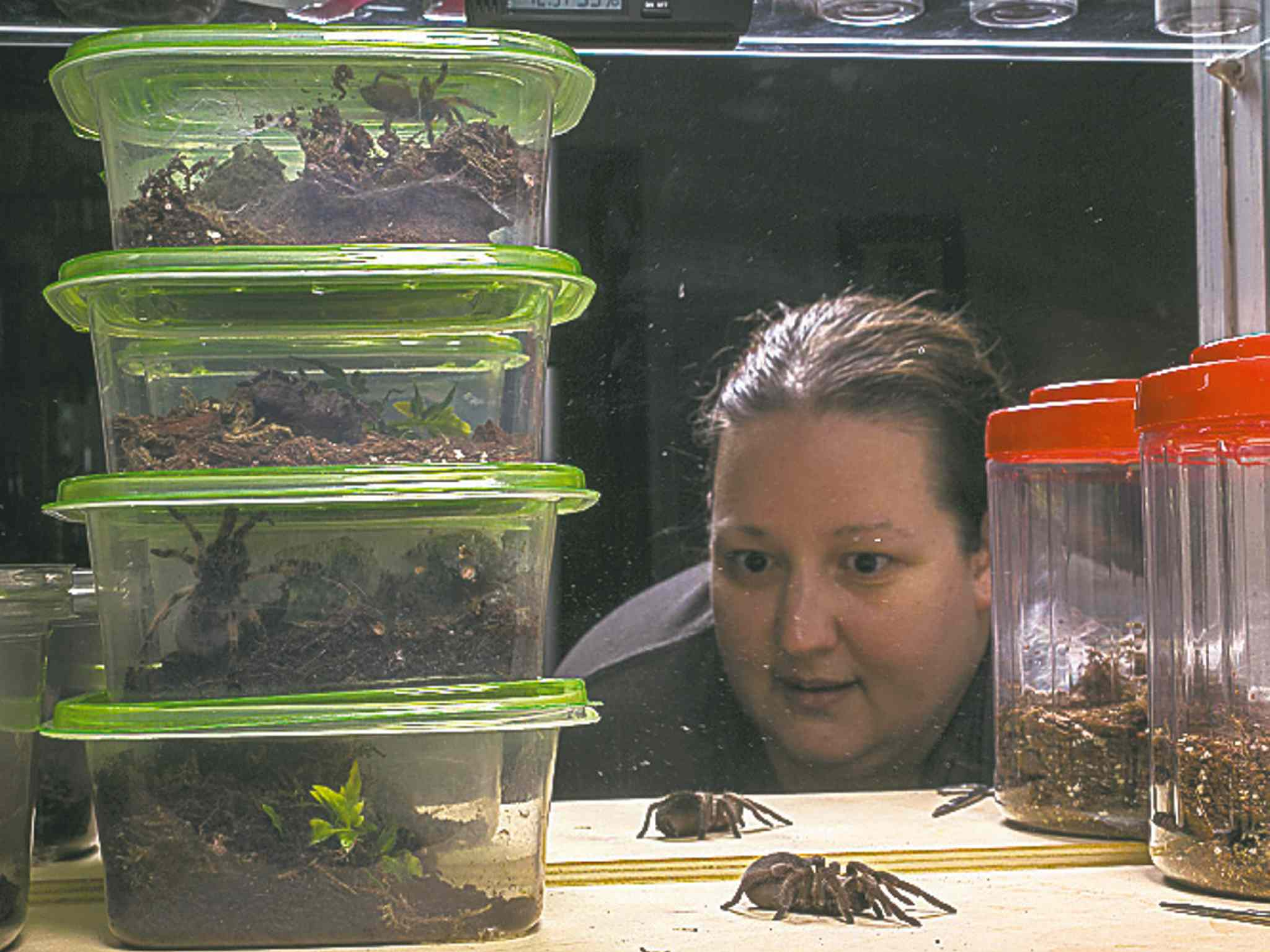 AP Photo/Damian DovarganesDee Reynolds watches one of the 50 tarantulas she keeps as pets in her home in Los Angeles.