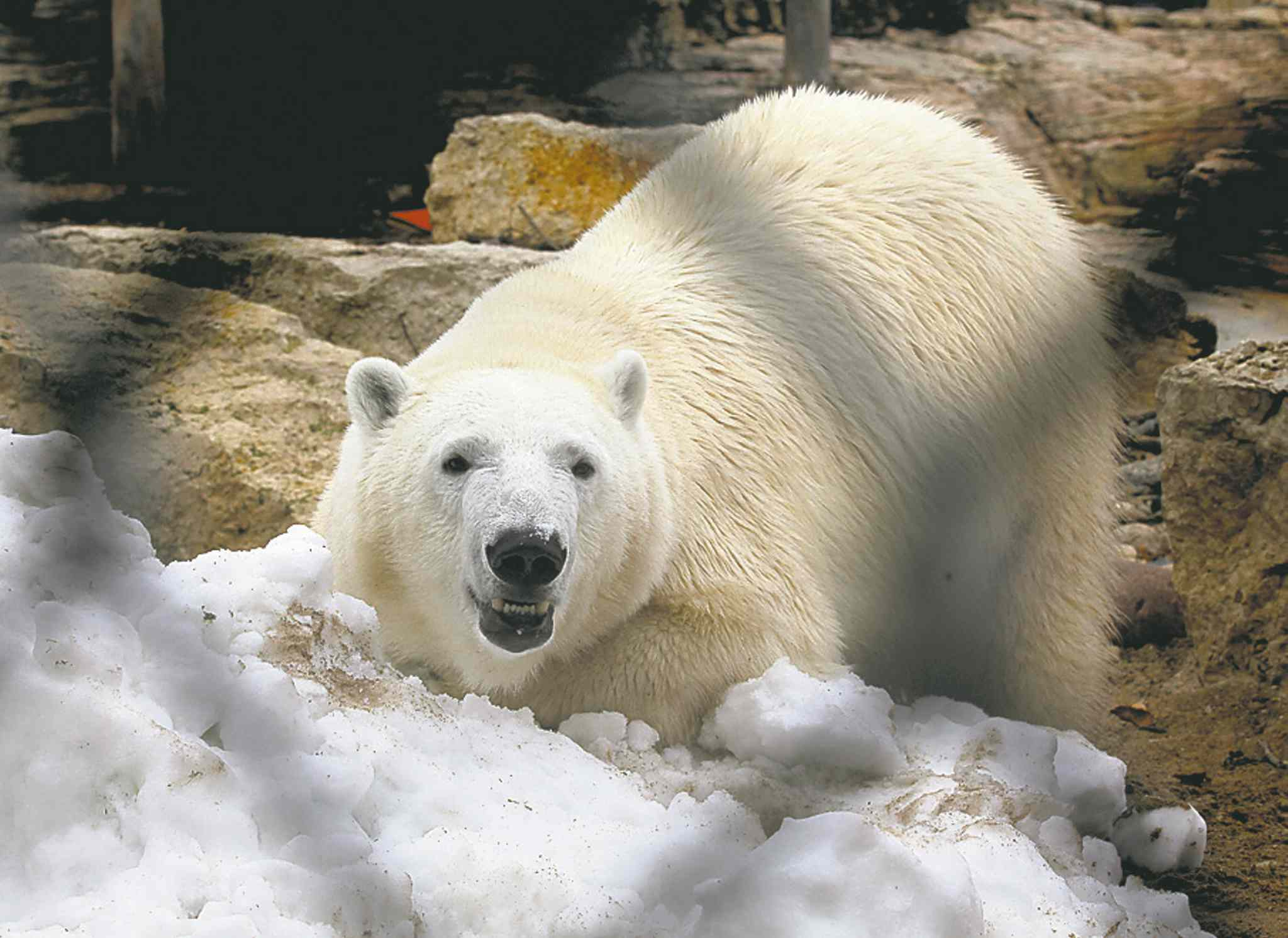 Hudson the polar bear will make his home at the Journey to Churchill exhibit at the Assiniboine Park zoo.
