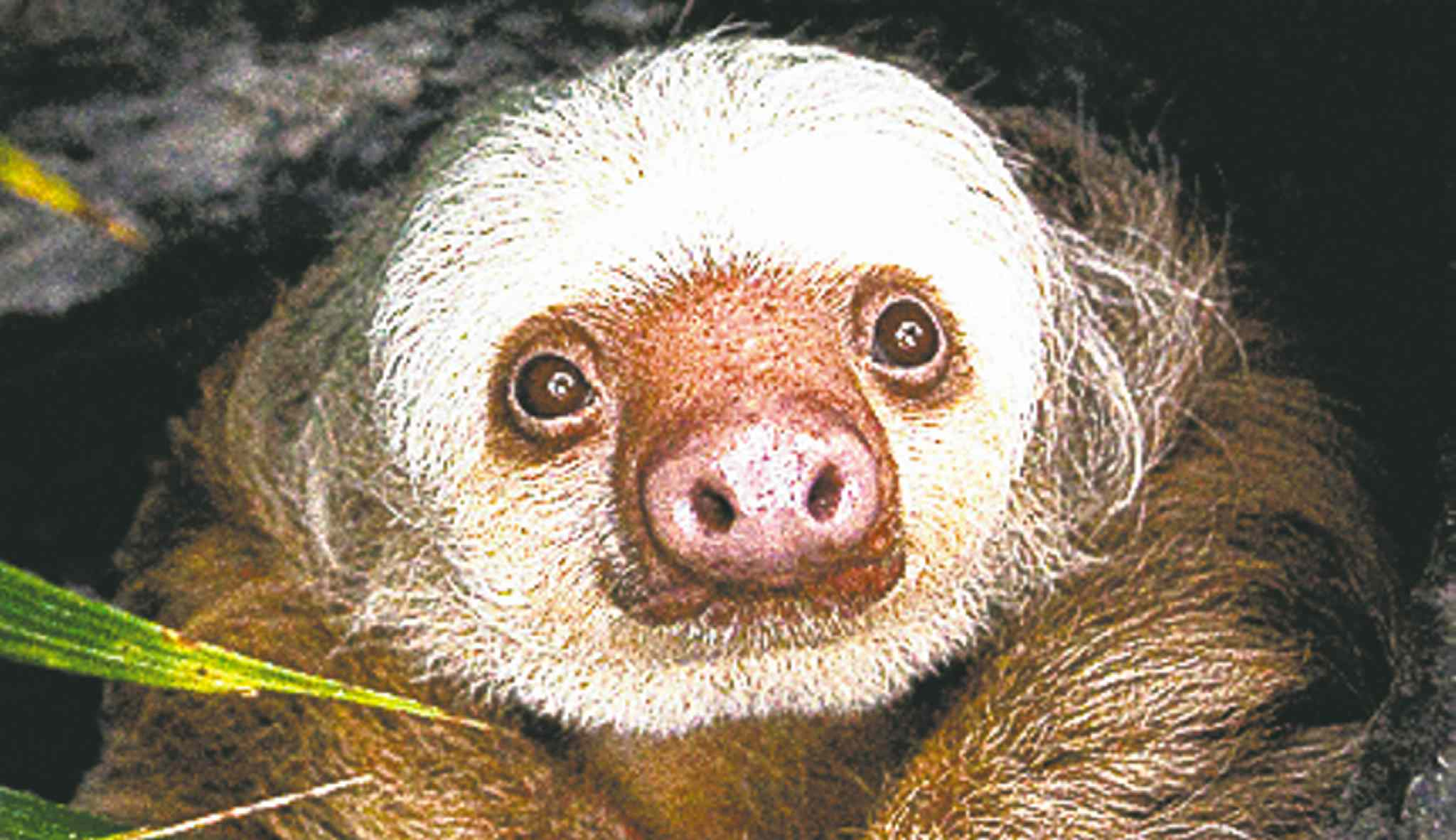 Homer, a two-toed sloth, is a resident of the Detroit Zoo, which is under pressure to make expensive additions to draw more visitors, even as support from the insolvent city may disappear. Illustrates DETROIT-ZOO (category a) by Tim Jones (c) 2013, Bloomberg News. Moved: Tuesday, Oct. 15, 2013 (MUST CREDIT: Mark M. Gaskill/Detroit Zoological Society).