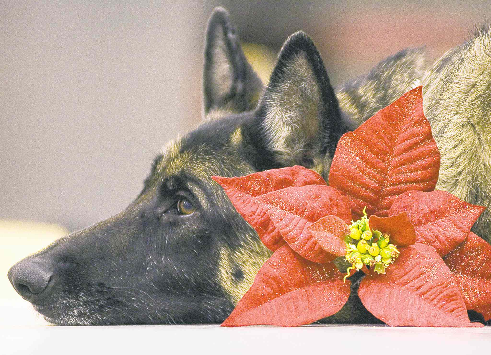 It's important to keep pet safety in mind while family and friends are enjoying the season.
