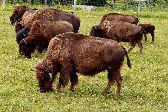 A group of bison graze at FortWhyte Alive. FortWhyte Alive hosts bison safari tours for those who want an up-close look at the iconic Manitoban animal.