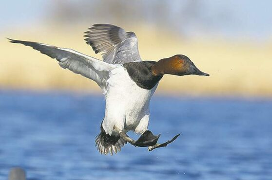 A canvasback duck comes in for  a landing.