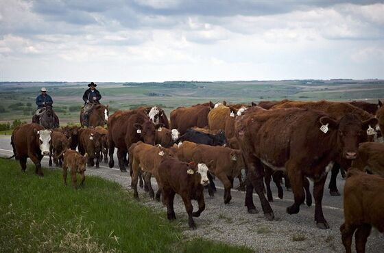 Cowboys move cows north west of Calgary, on May 28, 2013. Canada has won a battle in an ongoing trade dispute with the United States over meat-labelling laws that have hurt the beef and pork industries. The World Trade Organization released a ruling Monday that said U.S. country-of-origin labelling (COOL) rules discriminate against exports from Canada and Mexico. THE CANADIAN PRESS/Jeff McIntosh