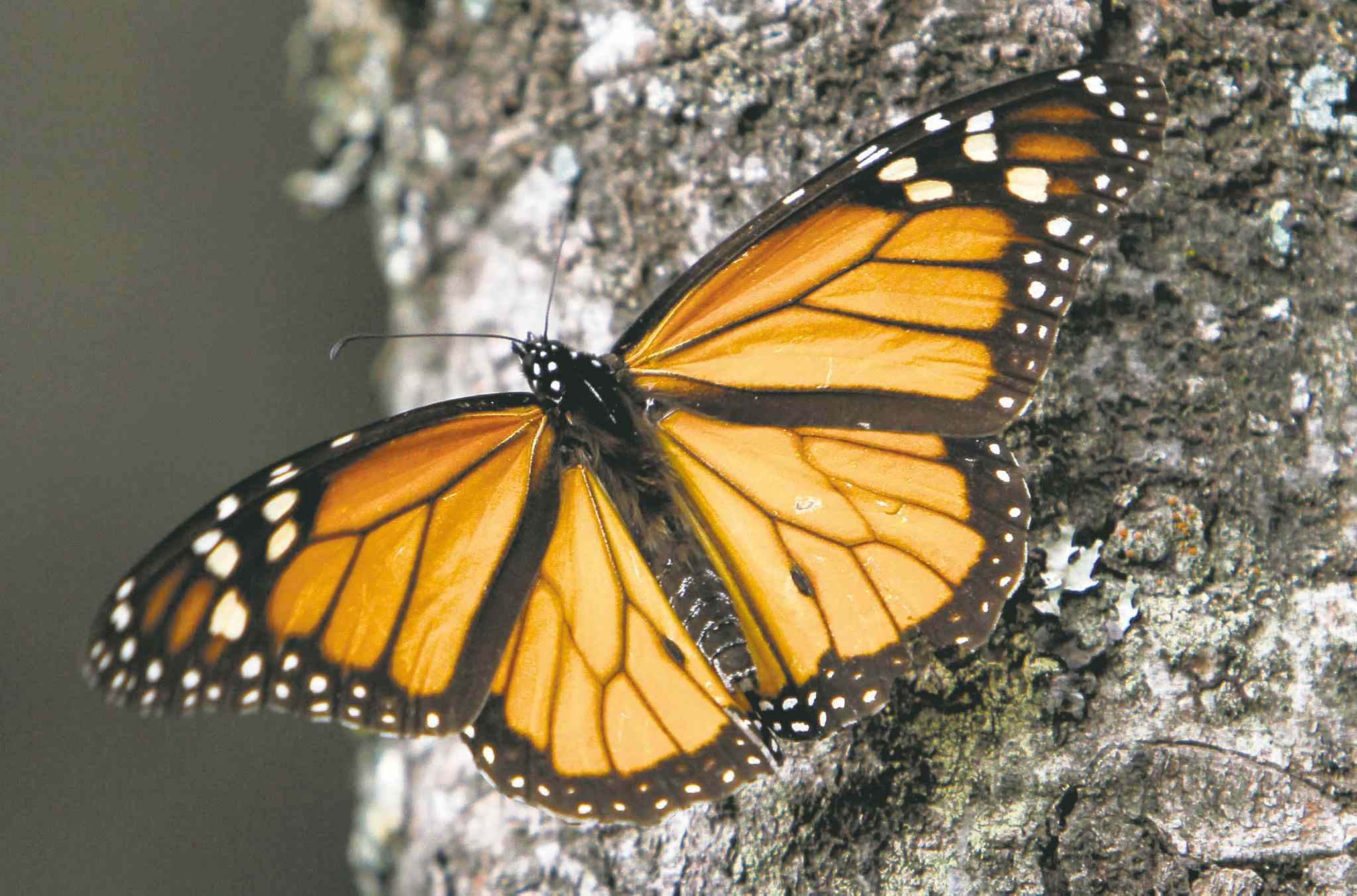 The number of Monarch butterflies wintering in Mexico has plunged. The loss of milkweed due to herbicides almost exactly mirrors the decline in monarch egg production.