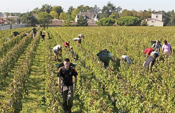 FILE, This Oct. 7, 2013 file image shows workers collecting red grapes in the vineyards of the famed Chateau Haut Brion, a Premier Grand Cru des Graves, during the grape harvest season, in Pessac-Leognan, near Bordeaux, southwestern France. China now boasts more wine-making vineyards than France, while France has beaten out Italy to regain the title of world's No. 1 wine producer. (AP Photo/Bob Edme/File)