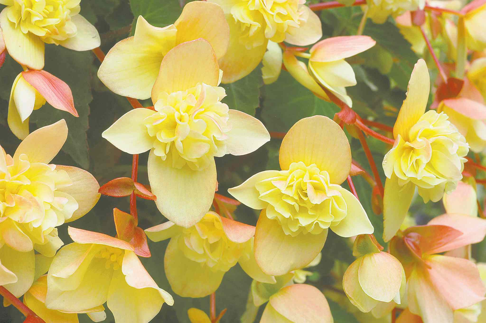 Dainty in both its appearance and bloom size, Sherbert Bon Bon begonia is available in crimson red or bright lemony yellow with pink undersides. Tolerant of part-sun.