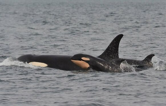 A newborn orca spotted near Galiano Island is shown in a handout photo. Researchers say yet another baby has been born to an endangered population of orcas off British Columbia's coast. THE CANADIAN PRESS/HO-Jeanne Hyde/ Maya'��s Legacy Whale Watching
