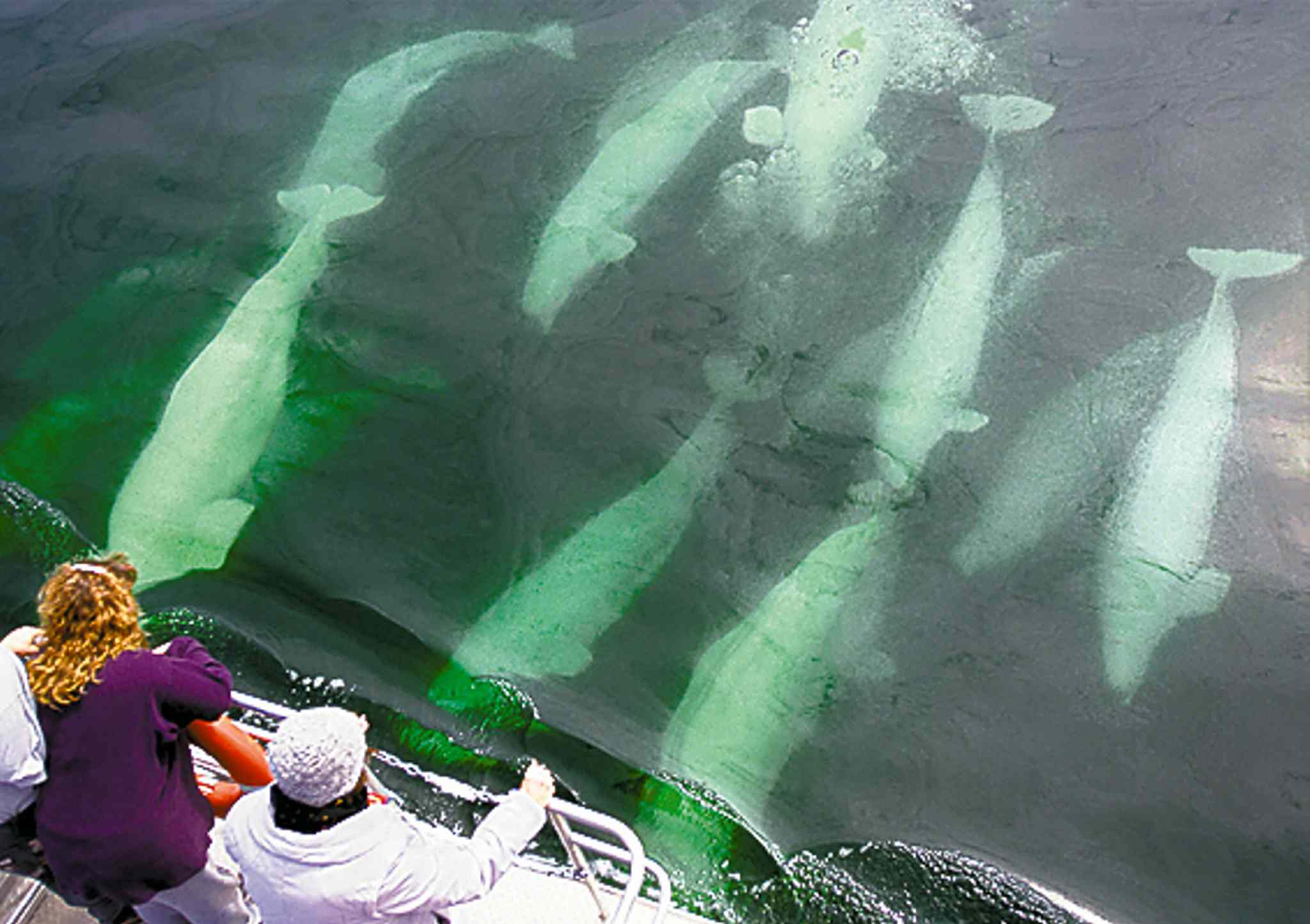 People watch beluga whales approach a tour boat in the Hudson Bay near Churchill, Manitoba.