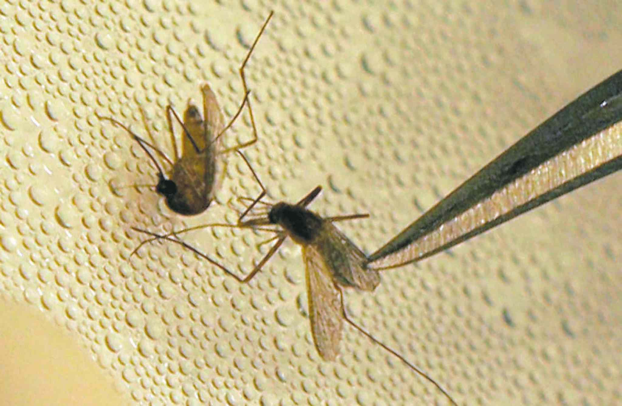 Mosquitoes are tested for West Nile Virus.