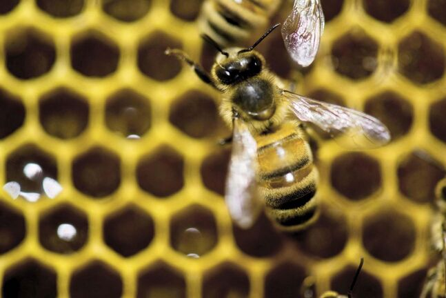 When the bees disappear, the orchards wither. (Andy Duback / The Associated Press files)