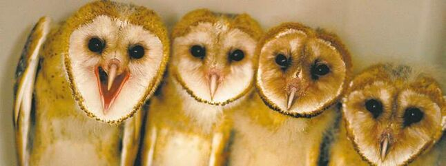 Barn owls can act as a pesticide-free means to protect crops from rodents.