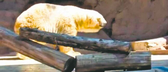 Arturo has lived in his dismal, warm enclosure at the zoo in Mendoza, Argentina, for the past 20 years.