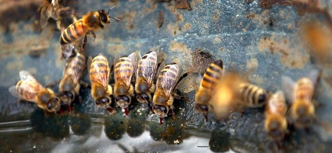A row of honeybees lap up water with red tongues from a bird feeder.