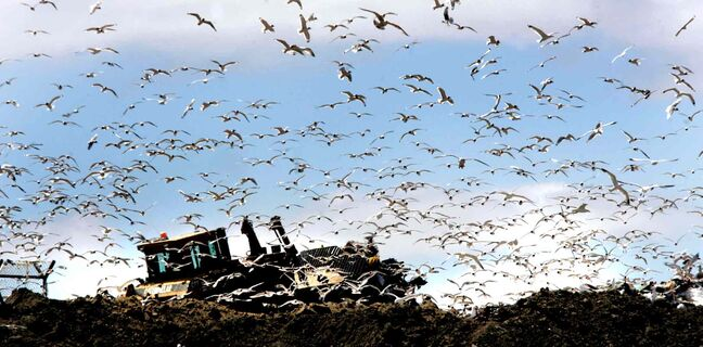 There may not be drones circling the landfill, but there are still plenty of gulls.