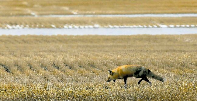 A fox wanders through the stubble of a Brandon-area farm. Up to 30,000 acres of farmland in the upper Assiniboine Valley may go unplanted.