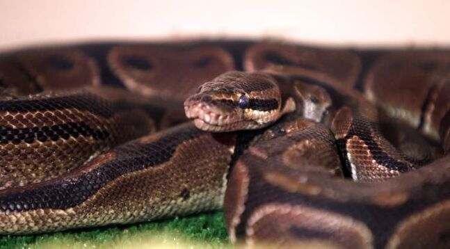 A ball python rests in a heated enclosure at animal services after being found in a trash bin Tuesday on Wellington Crescent.