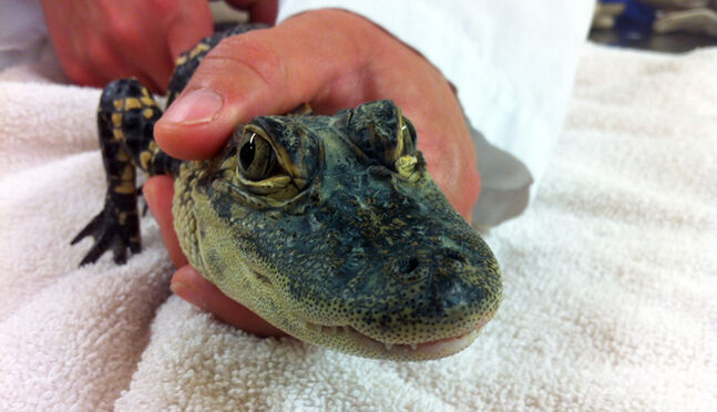 Officers are now working to find a home for the alligator at a zoo.