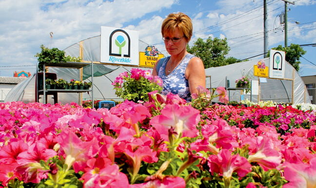 Maples resident Valerie Allan browses the aisles at the Riverside Greenhouse on McPhillips Street last week.