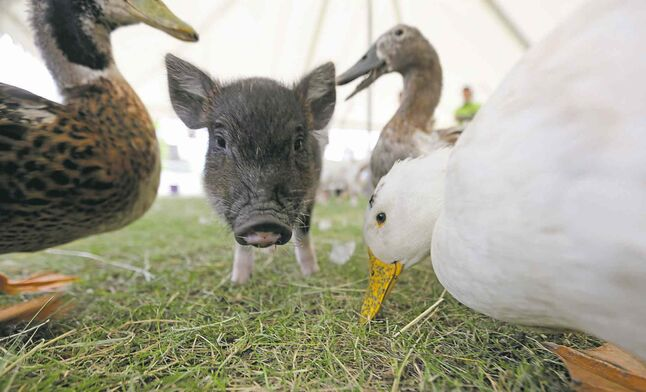 A pig and ducks in the petting zoo at the Steinbach Pioneer Days at the Steinbach Mennonite Heritage Village, Sunday, August 4, 2013. (TREVOR HAGAN/WINNIPEG FREE PRESS)