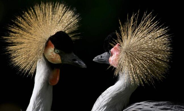 Two Grey Crowned Cranes at the Berlin Zoo in Berlin, Germany. (AP Photo/Gero Breloer)
