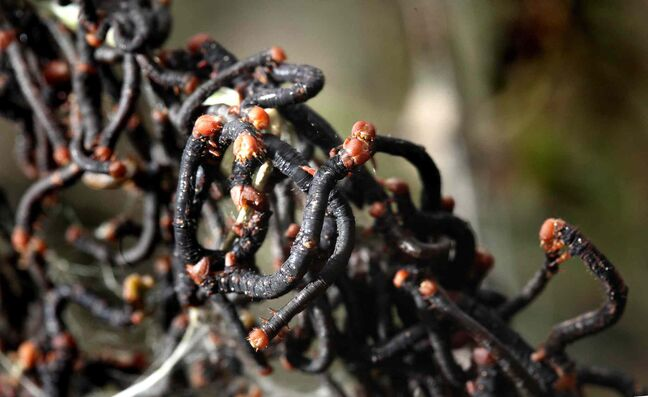 Elm spanworms cluster on defoliated branches of shrubs downtown on Assiniboine Avenue Thursday afternoon.