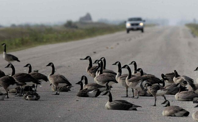 Canada Geese relax in the warm Friday morning heat near the entrance of the Oak Hammock Marsh Interpretive Centre.