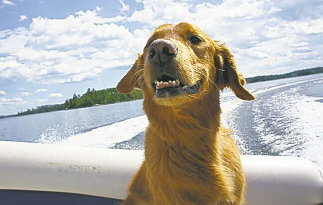 Rusty is an eight-year-old Golden Retriever. He was a rescue from Animal Services in 2005. Rusty's favourite place in the world is the cottage, and he loves to go for boat rides. Life is good! — David Guidry