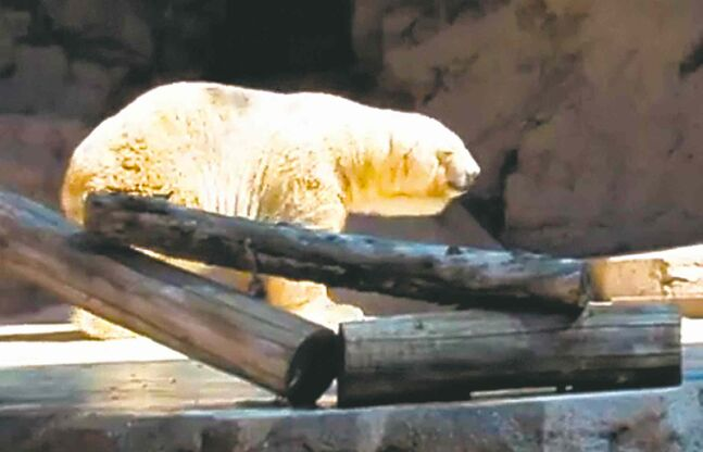 Arturo has been subjected to highs of close to 40 C in an Argentine zoo.