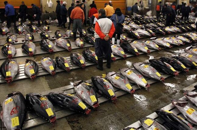 In this Jan. 5, 2013 photo, a prospective buyer inspects the quality of tuna before the first auction of the year at the Tsukiji Market in Tokyo.