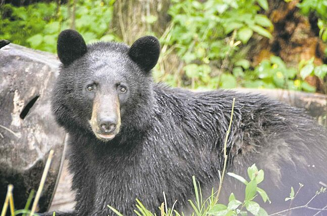 The Manitoba Lodges and Outfitters Association has committed to funding a project that would seek to resurrect a provincial study on black bears.