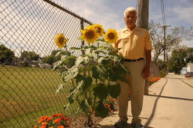 Elmwood resident Herb Minderhoud is shown in his Martin Avenue West back lane that he has been beautifying with marigolds the last several years. The sunflower sprouted up to complement his efforts.