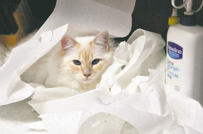 Maui decided to makie a nest out of paper towels and then take a nap. We caught him redpawed, since he was too exhausted to leave the scene of his crime. — The Rafnson Family, East St. Paul, Mb.