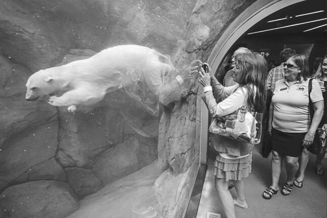 Jackie Mikolash gets a photo of one of the polar bears after the grand opening of the Assiniboine Park Zoo exhibit Journey to Churchill.