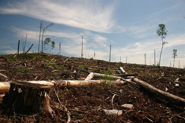 A clear cut section of forest is seen on Grassy Narrows First Nation territory near Dryden, Ont., in this 2006 handout image. THE CANADIAN PRESS/HO