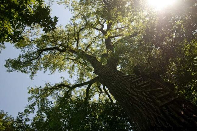 One of Winnipeg's most magnificent trees is this cottonwood in McBeth Park, along the Red River north of Kildonan Park.